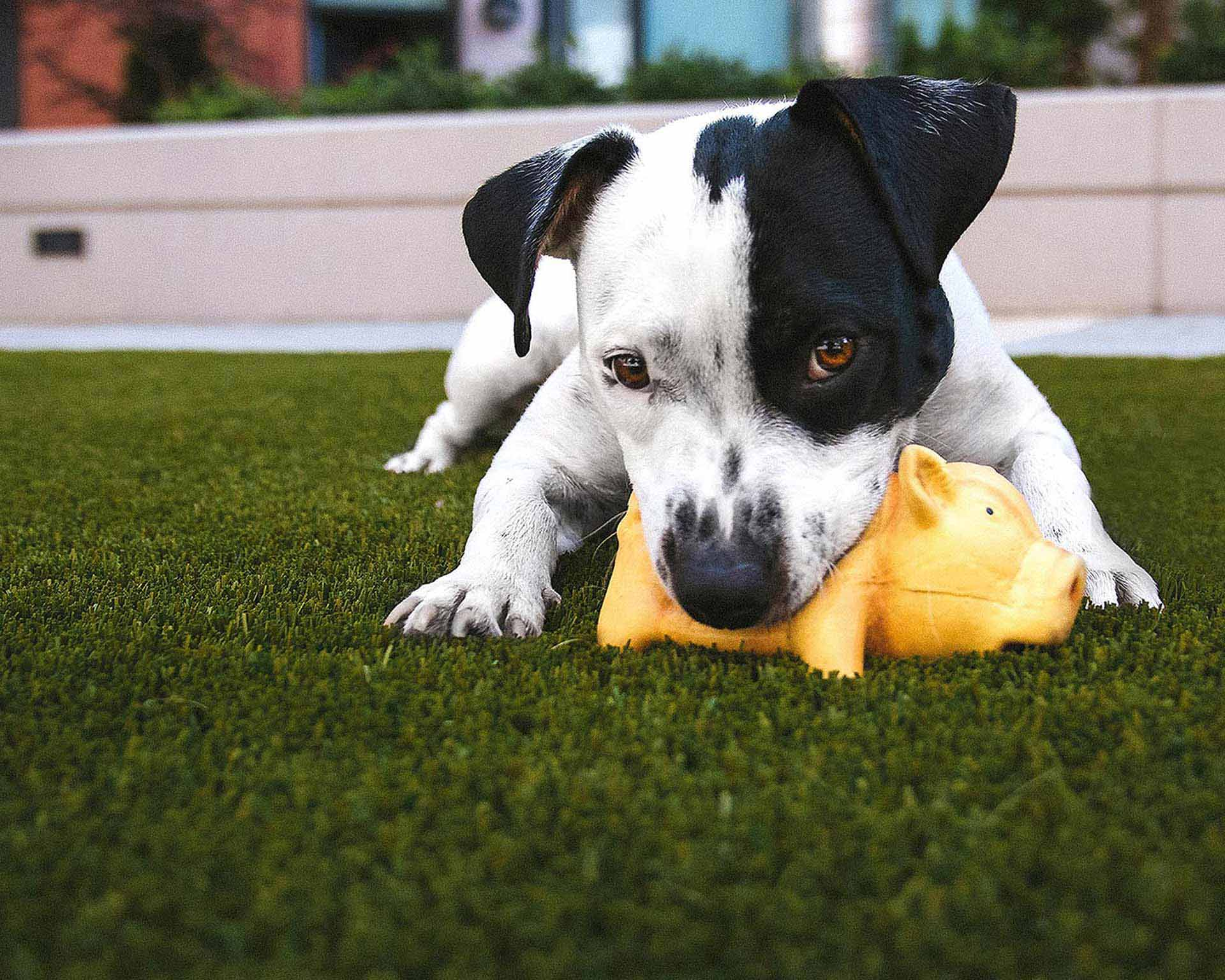 black and white puppy with yellow toy pig in dog run